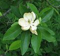 A Flower (Wikipedia Image).jpg