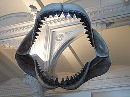 File:Megalodon jaws amnh.jpg