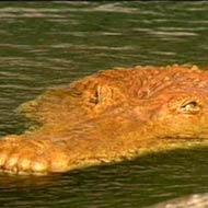 File:Deinosuchus p1.jpg