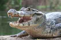Crocodile-7943