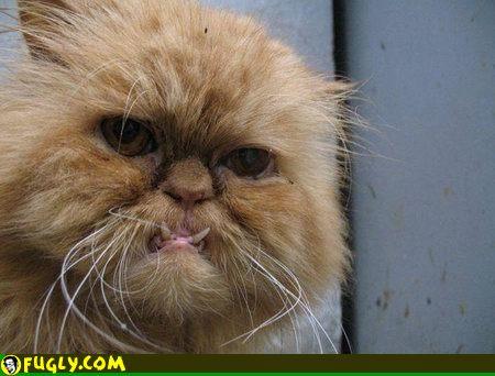File:Snaggletooth cat.jpg