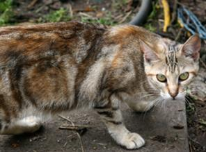 296px-Brow reticulated tabby