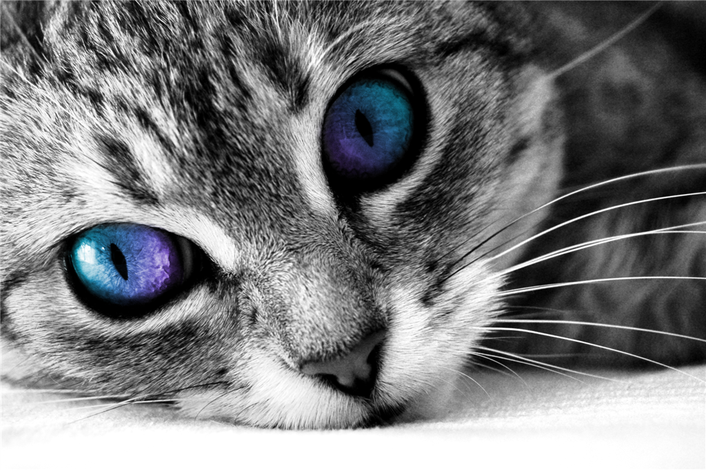 animals, Cat, Blue Eyes Wallpapers HD / Desktop and Mobile Backgrounds