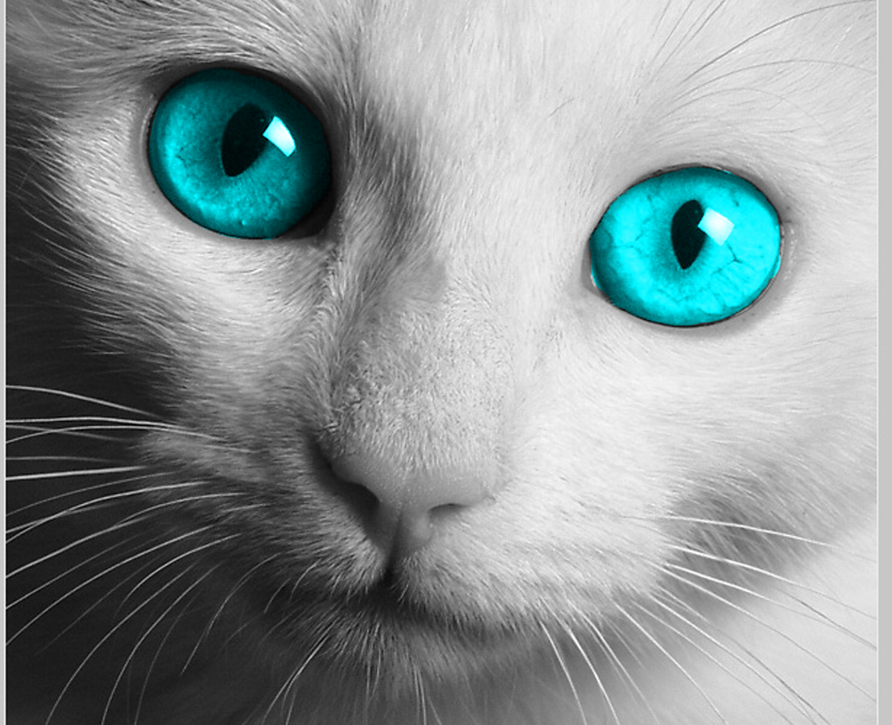 White Cat With Blue Eyes HD Wallpaper Free Download