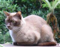 Burmese-cat-facts