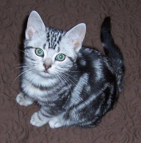 File:Silver-Tabby-Kittens1.jpg