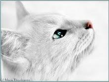 Snow-White-Cat-cats-1300348-750--3