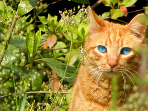 Blue eyed ginger cat by canyoufeelsora921-d49cgxz