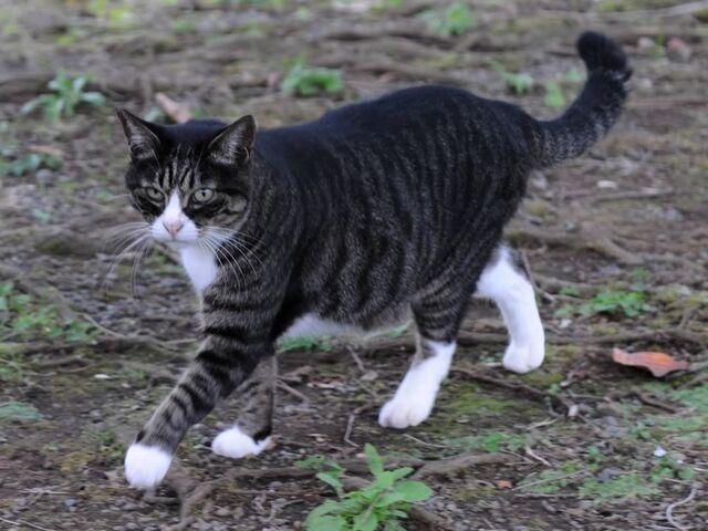 File:Dark mackerel tabby cat in a park-Hisashi-02A.jpg