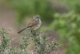 File:Sparrow1.jpeg