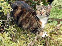 Dappled toirtiseshell cat green eyes mousewhisker dark forest