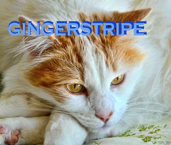 File:Gingerstripe.jpg