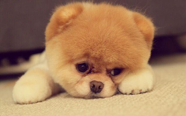 File:Pomeranian-Puppy-cute-sad-face.jpg