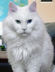 File:Odd eyed white cat.jpg