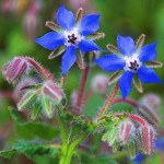File:Borage Leaves.jpg