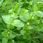 File:Chickweed.png