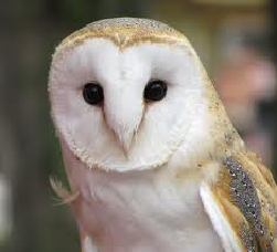 File:Barnowl.png