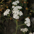 Common Yarrow.png