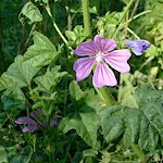 Mallow Leaves