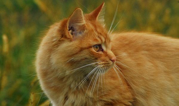 File:Orange cat.jpg