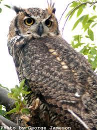 File:Great Horn Owl.jpg