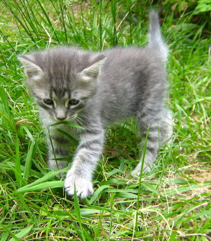 File:Black-and-white-kitten-outside-hd-lady-holiday--may-2012-image.jpg