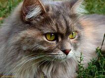 Brown-cat-eyes-green-1