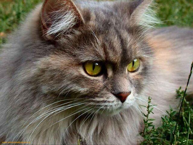 File:Brown-cat-eyes-green-1.jpg