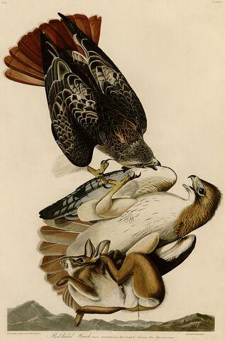 File:Redtails by Audubon.jpg