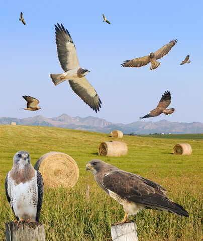 File:Swainson's Hawk ad light From The Crossley ID Guide Raptors.jpg