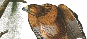 Redshoulders by audubon