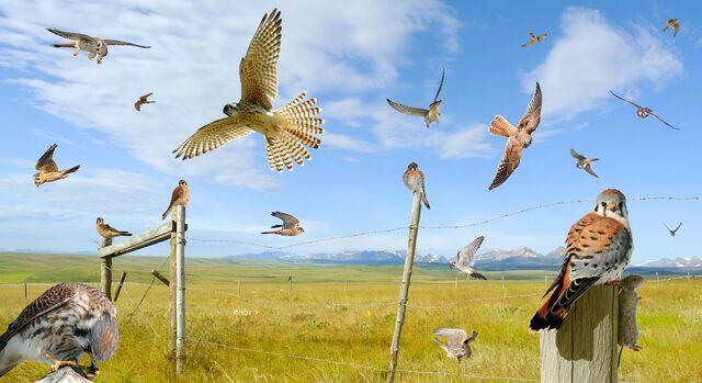File:American Kestrel From The Crossley ID Guide Raptors.jpg