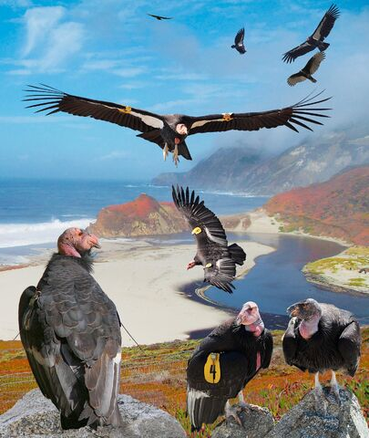 File:California Condor From The Crossley ID Guide Raptors.jpg
