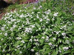 File:Wild Garlic.jpg