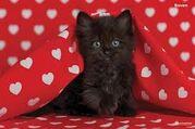 ANT Ava's Kitten