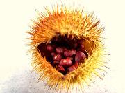 Mandragora-seed.jpg