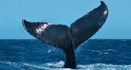 File:Whale-watching-tours-puerto-vallarta-437x234.jpg