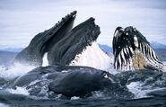 Whales-feeding 1552675i