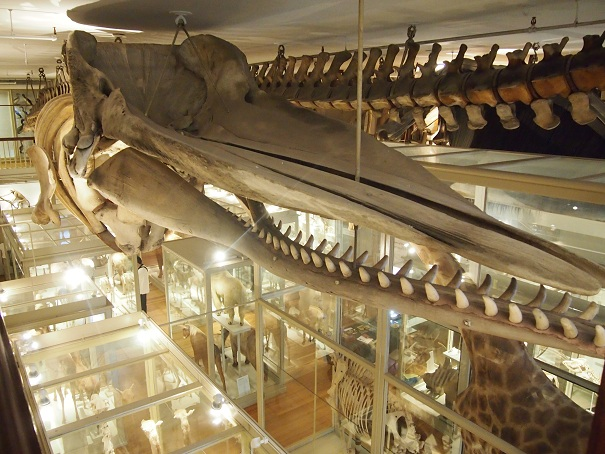 File:Harvard Museum of Natural History 14 OTIS.jpg