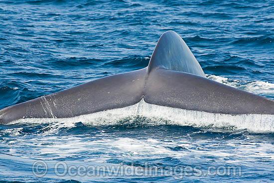 File:Blue-whale-70M1405-01.jpg