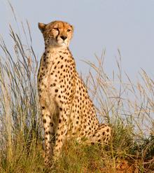 File:Amber the cheetah.jpg