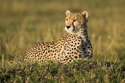 File:Honey the cheetah..jpg
