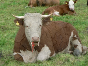 File:Vampire Cow.jpg