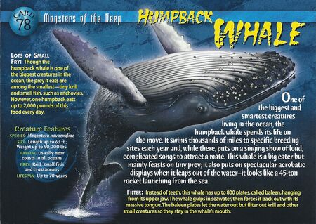 Humpback Whale front
