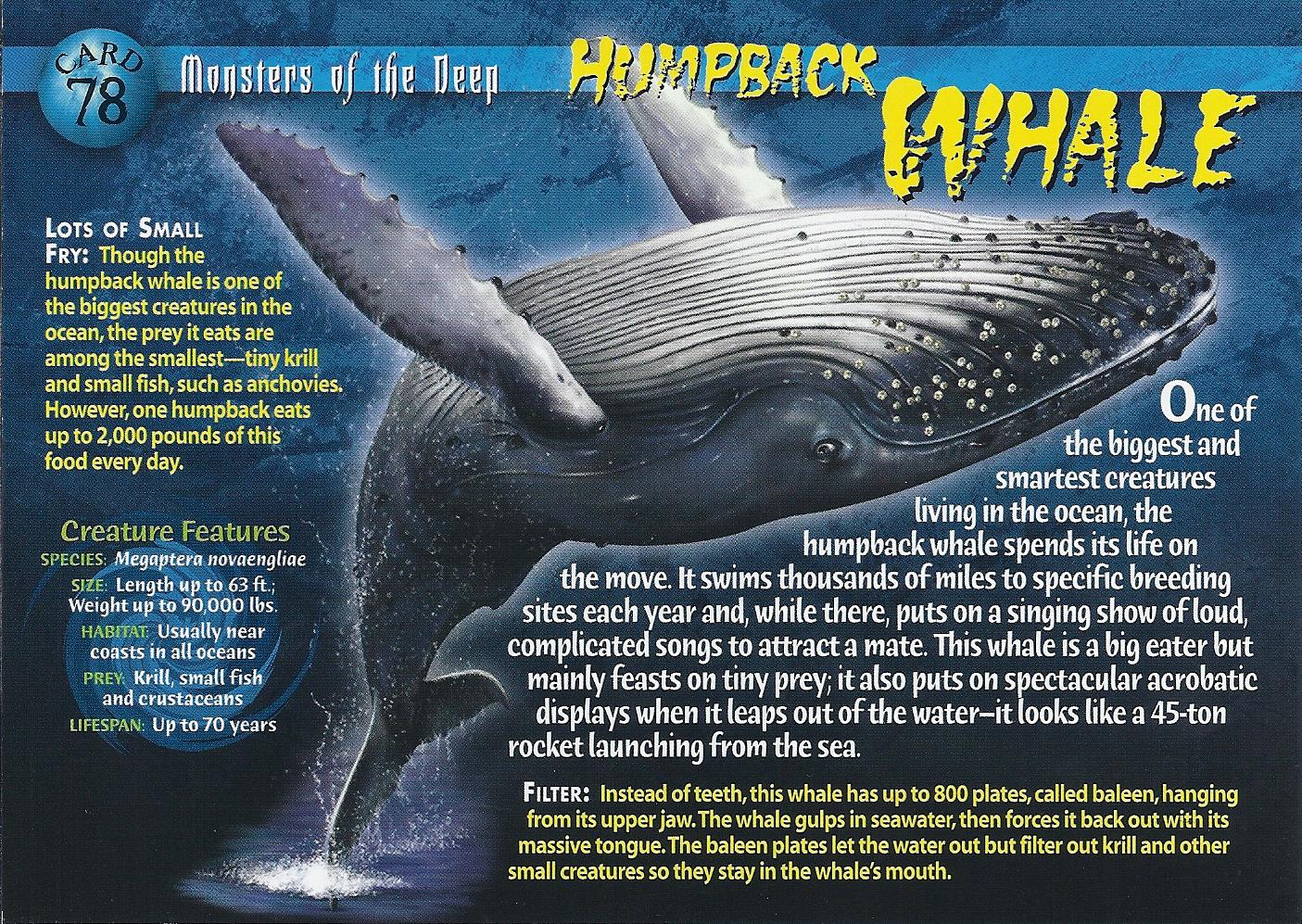 image humpback whale front jpg wierd n u0027wild creatures wiki