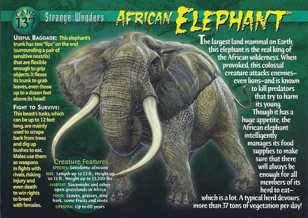 African Elephant front