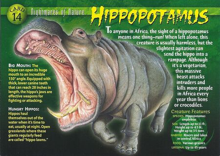 Hippopotamus front