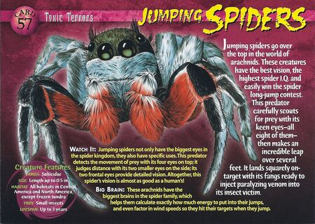 Jumping Spiders front