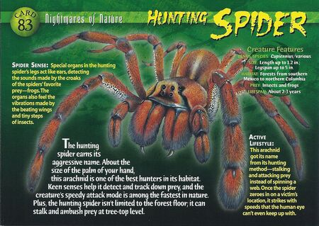 Hunting Spider front