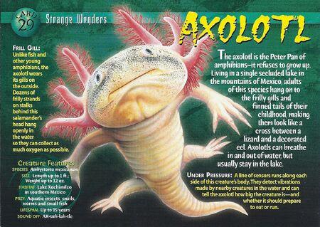 Axolotl front
